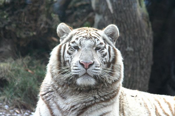 tigre blanca