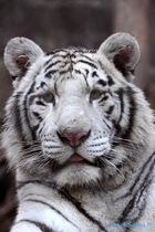 Tigre Cachorro