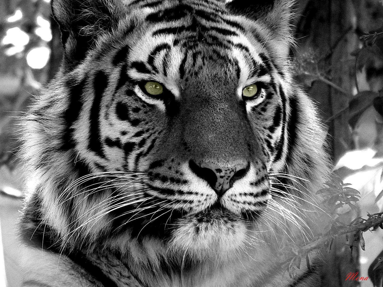 Tigre en negro y blanco