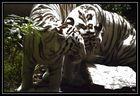 Tigres Blancs -2-