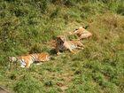 Tigres de cabárceno