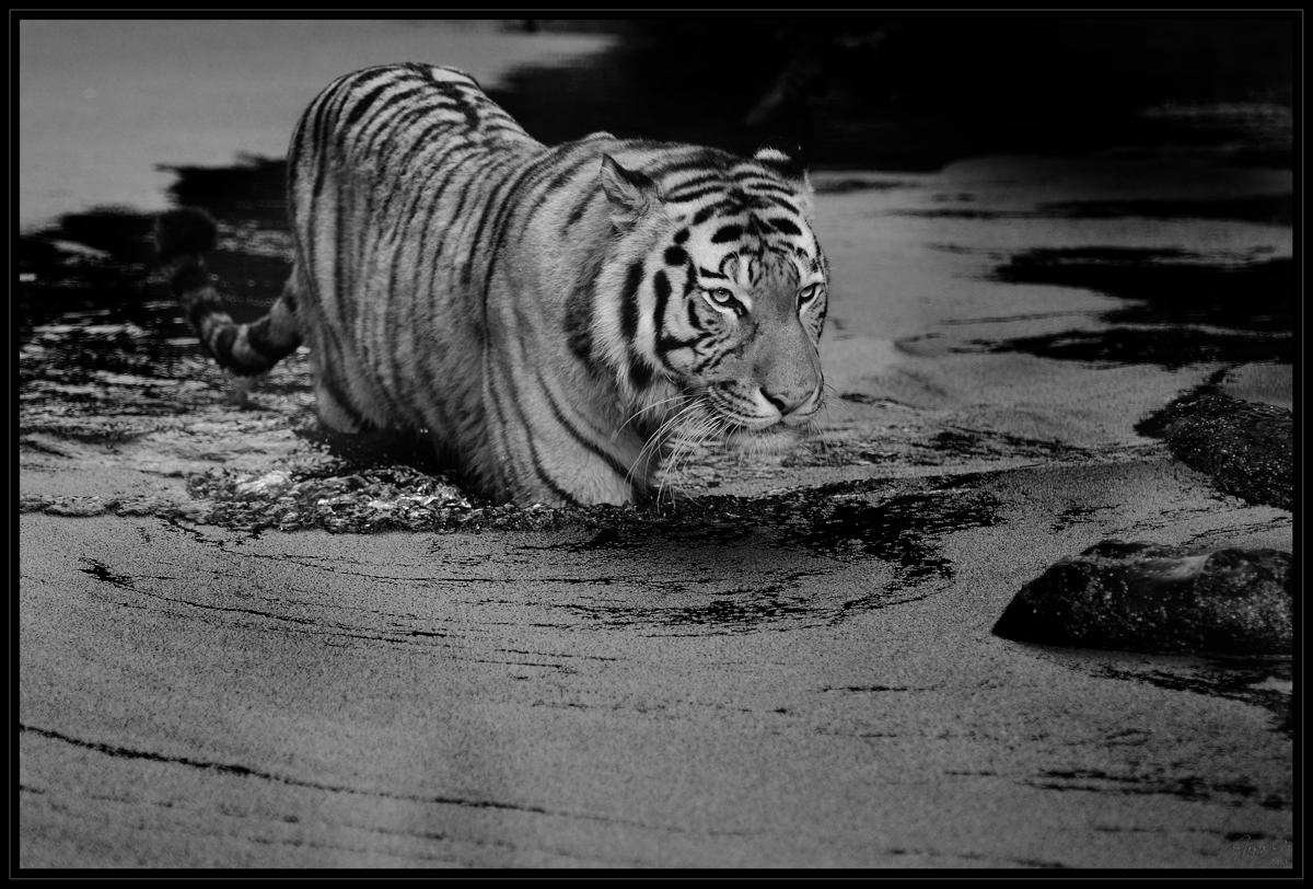 Tigris_3S49778r_sw_2014