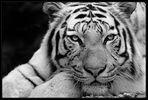 Tigris_3S52004r_sw_2014