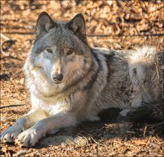 Timber Wolf at Lakota Wolf Preserve