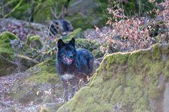 Timberlandwolf 2