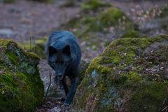 Timberlandwolf 3