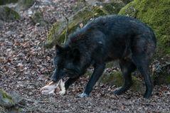 """Timberlandwolf mit Teil seiner """"Beute"""""""