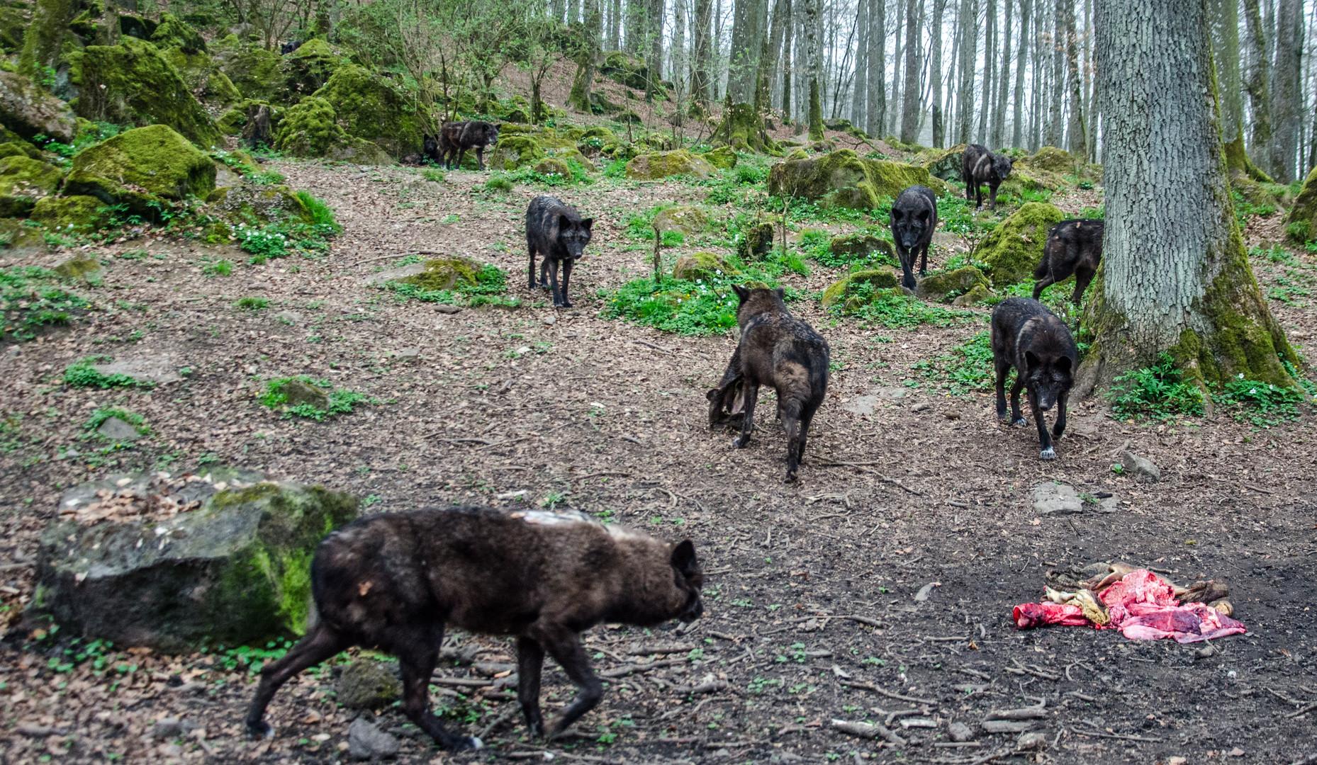 Timberwölfe bei der Fütterung