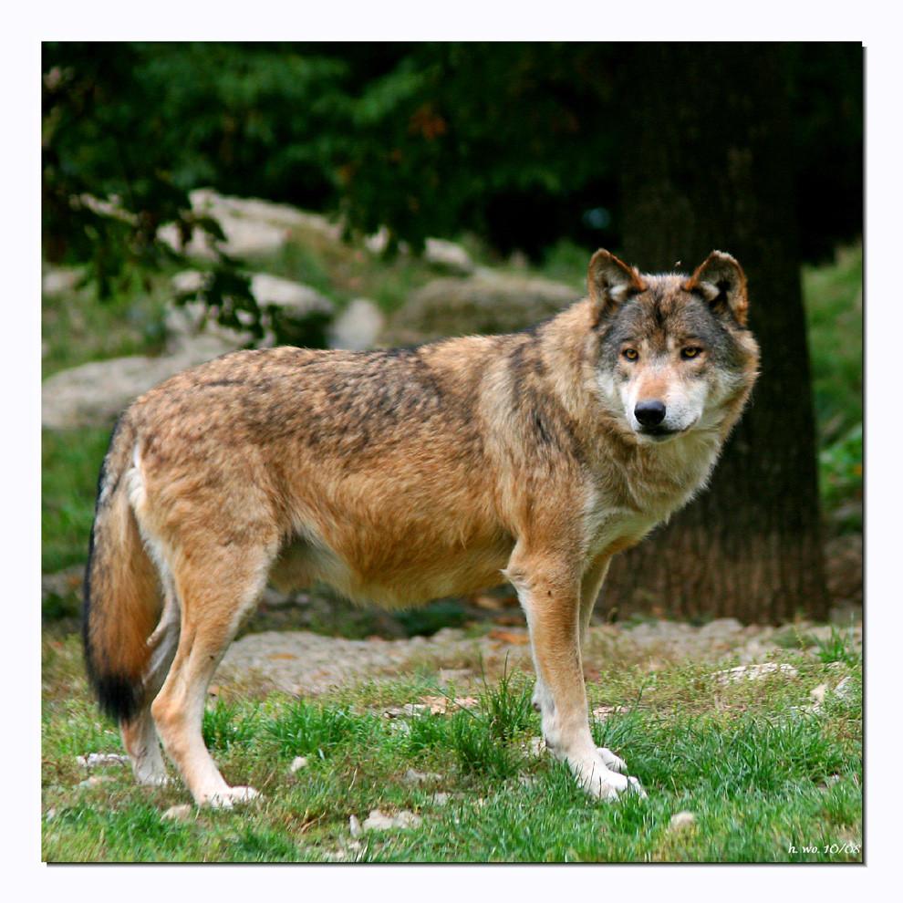 Timberwolf............