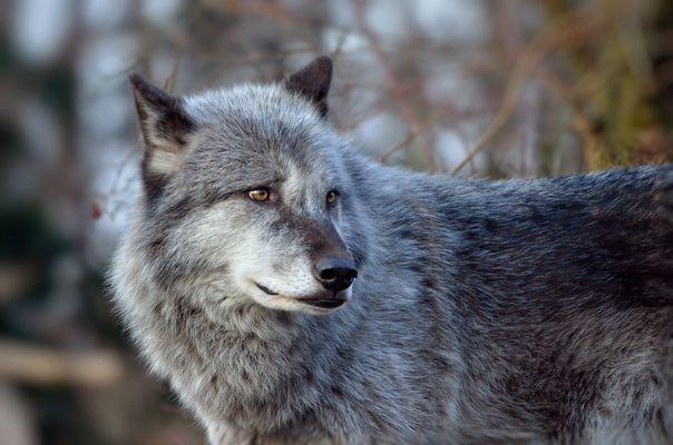 Timberwolf...