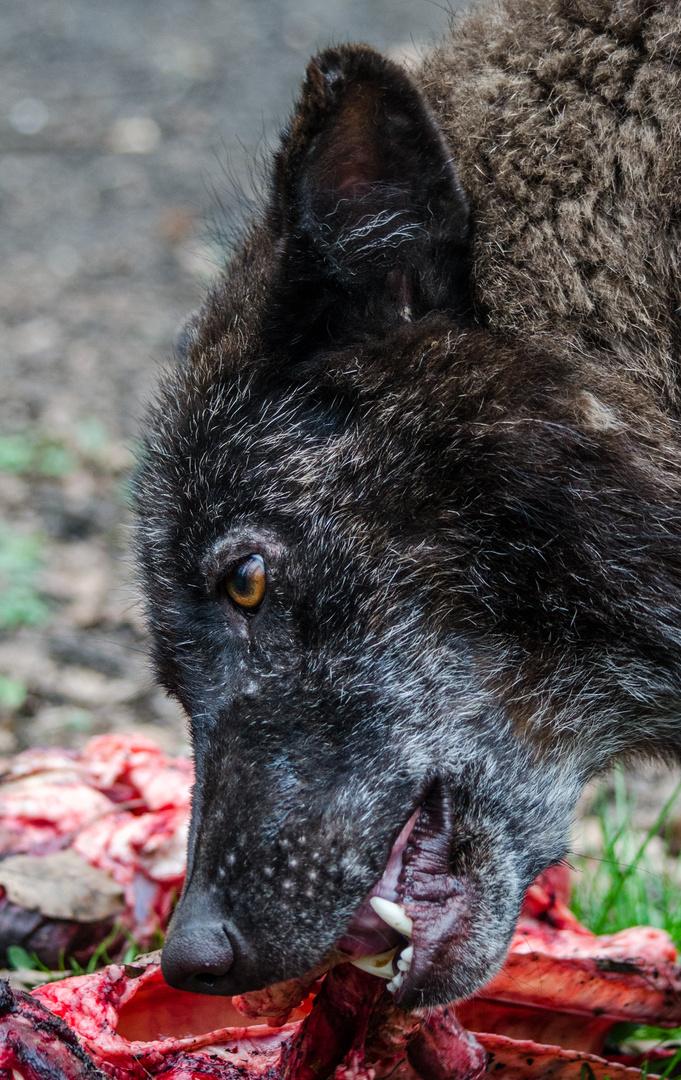 Timberwolf beim Fressen