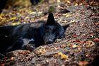Timberwolf beim Mittagsschlaf