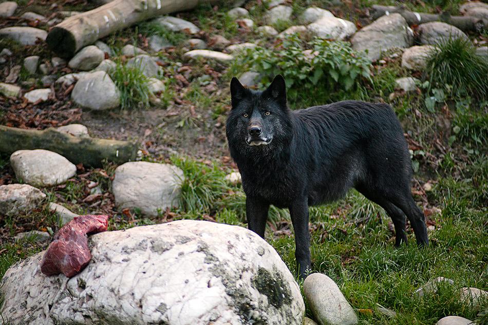 Timberwolf.... bitte nicht stören :-)