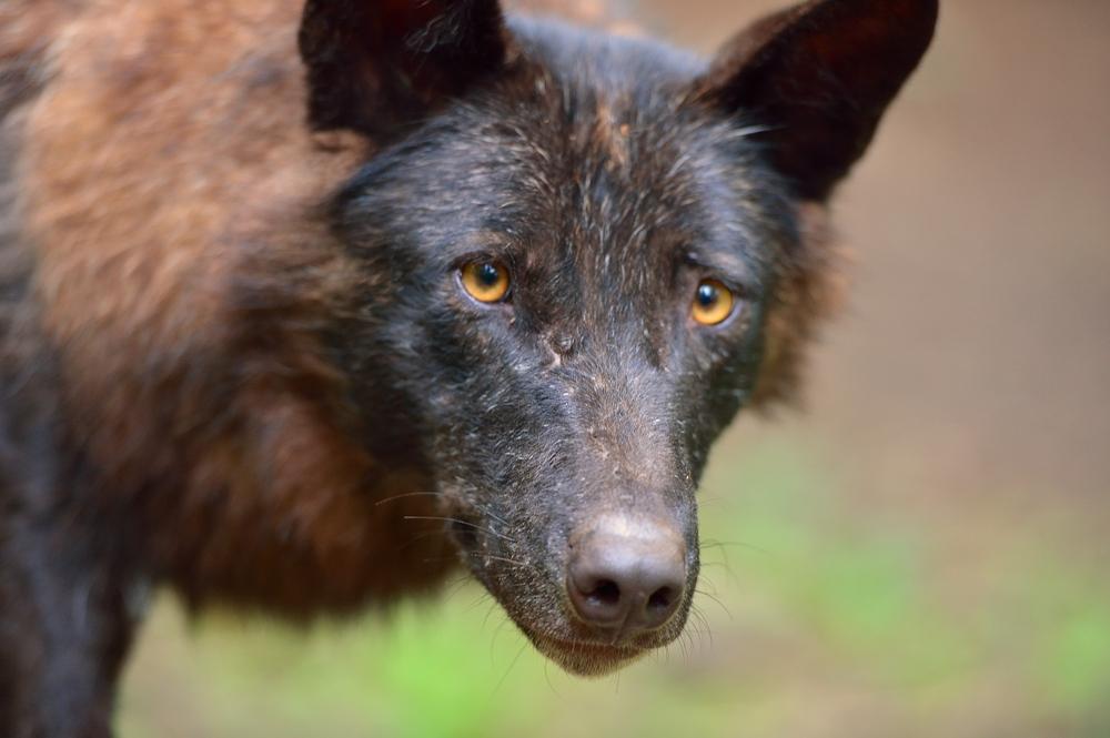 Timberwolf II
