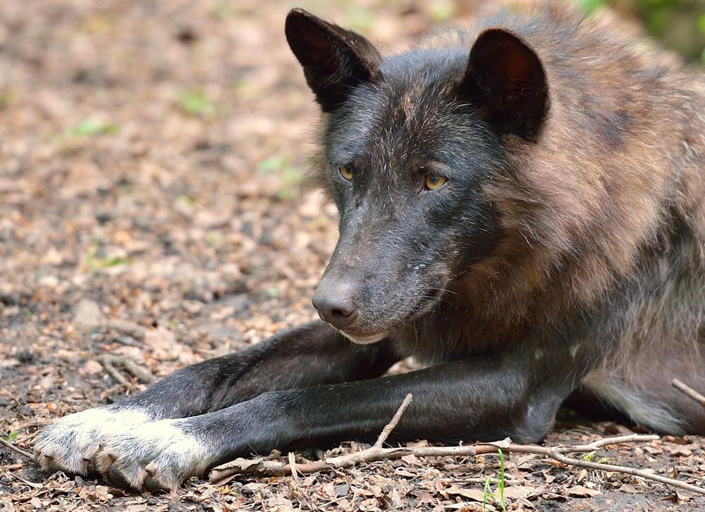 Timberwolf III