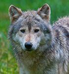 Timberwolf im WP Bad Mergentheim