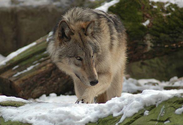 Timberwolf Ole