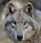 Timberwolf OLE sucht Rotkäppchen!