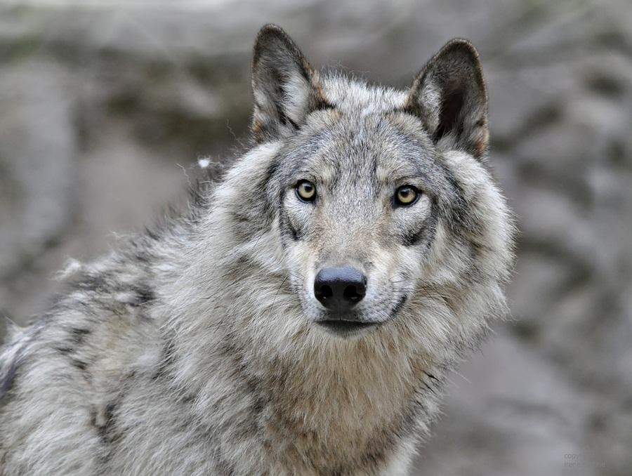 Timberwolf OLE ...unschuldiger Blick ???