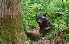 Timberwolf VI