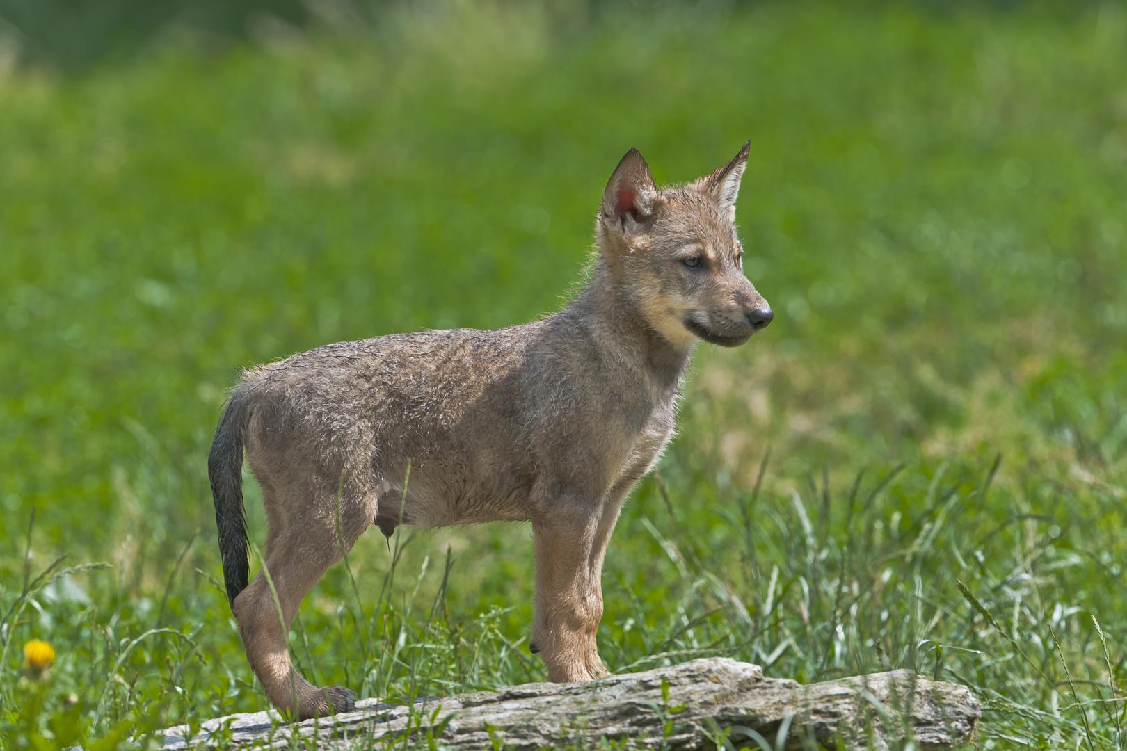 Timberwolf - vier Wochen alt