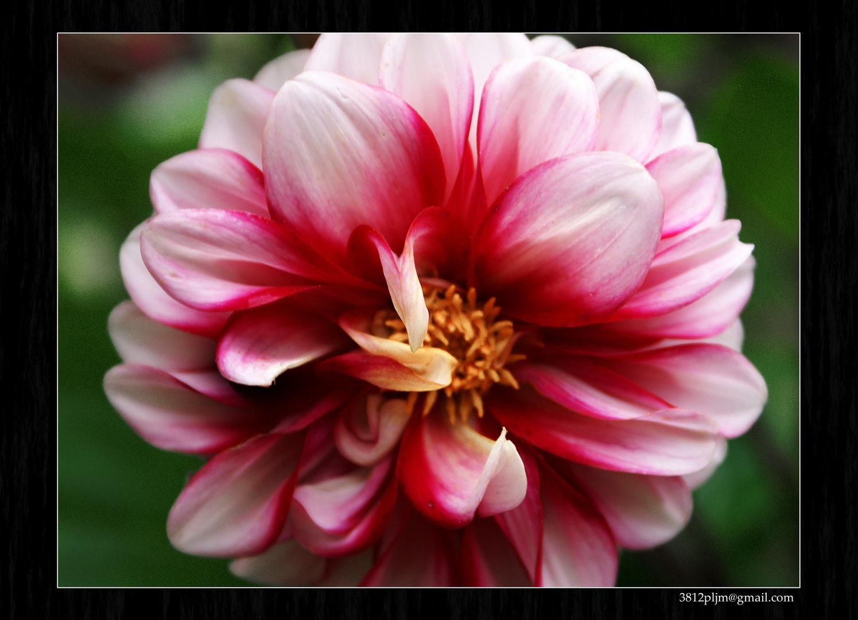 Timidez...en flor