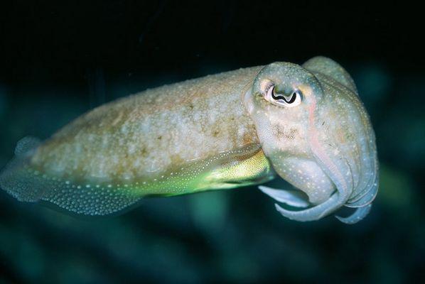 Tintenfisch (Sepia officinalis)
