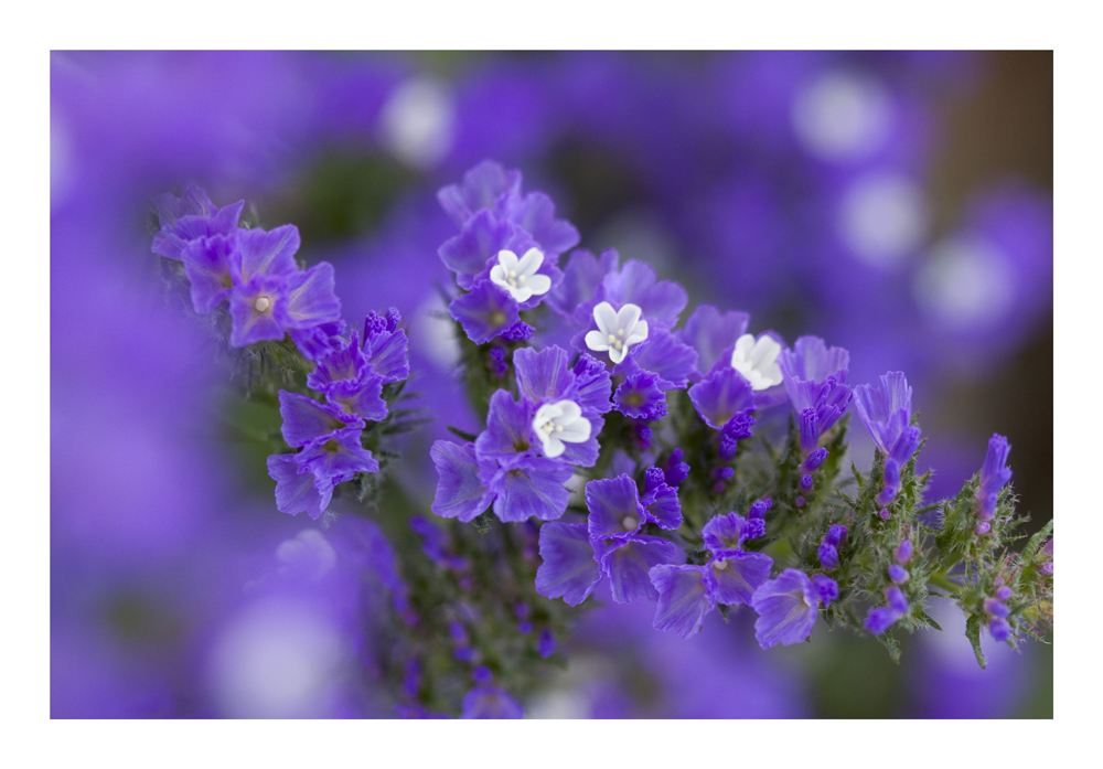 Tiny Violet Flowers[2]