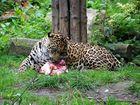 Tipito, der einjährige Jaguar