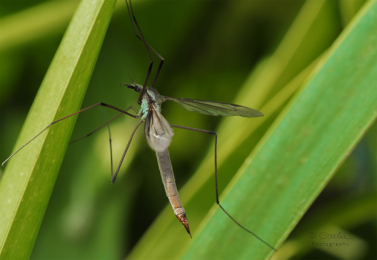 Tipulidae - Crane fly (Die Schnaken)