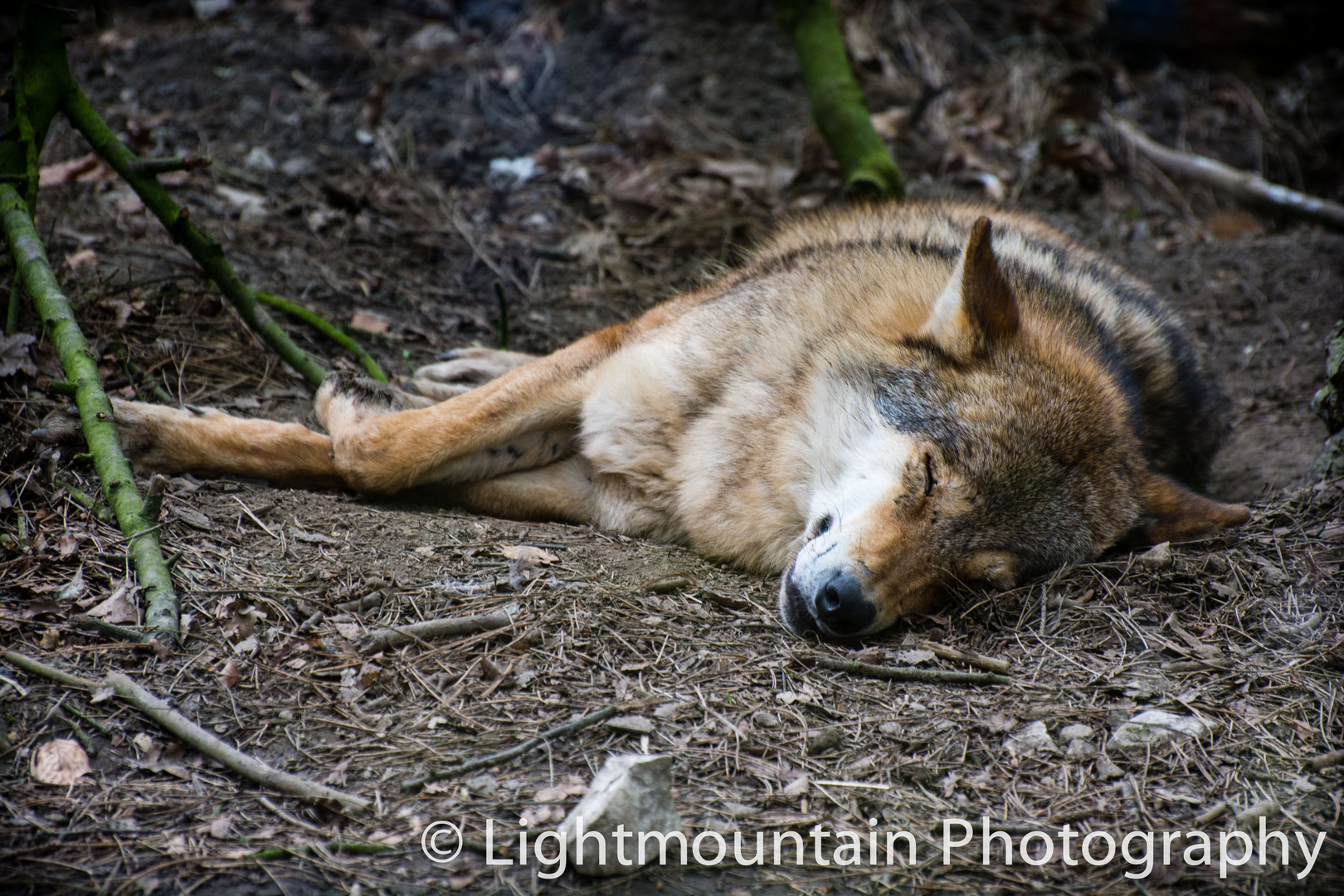 Tired Wolf