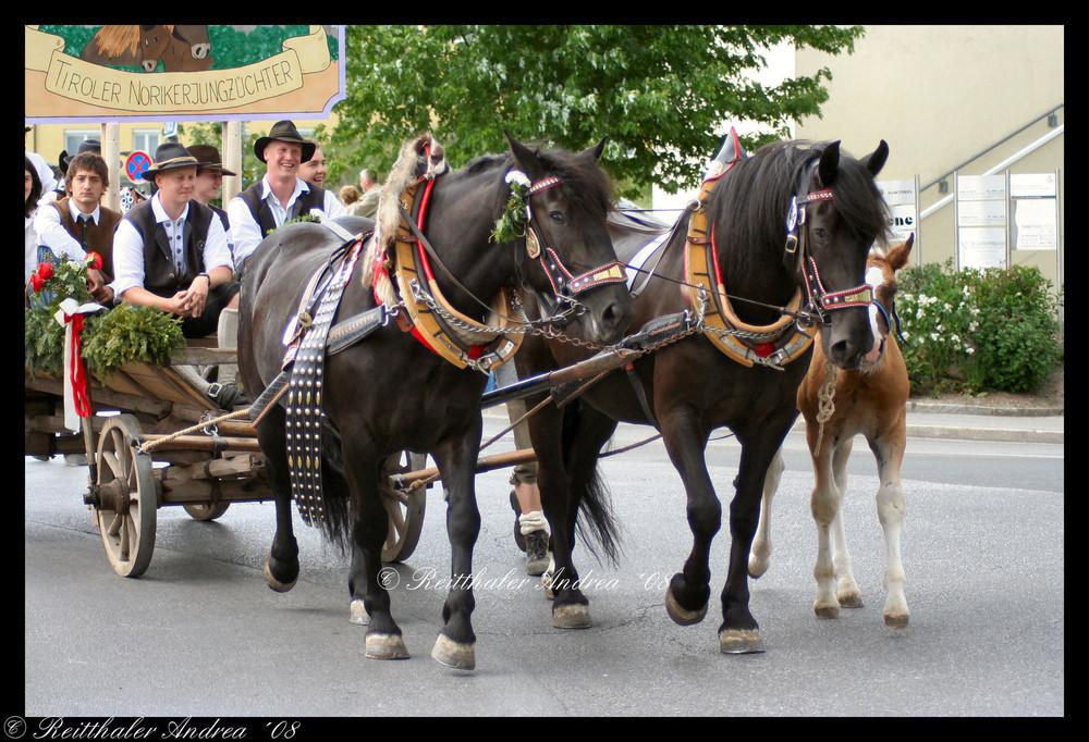 Tiroler Norikerjungzüchter