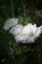 tites fleurs blanches 2
