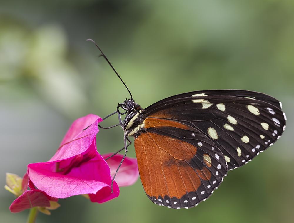 Tithorea tarricina pinthias