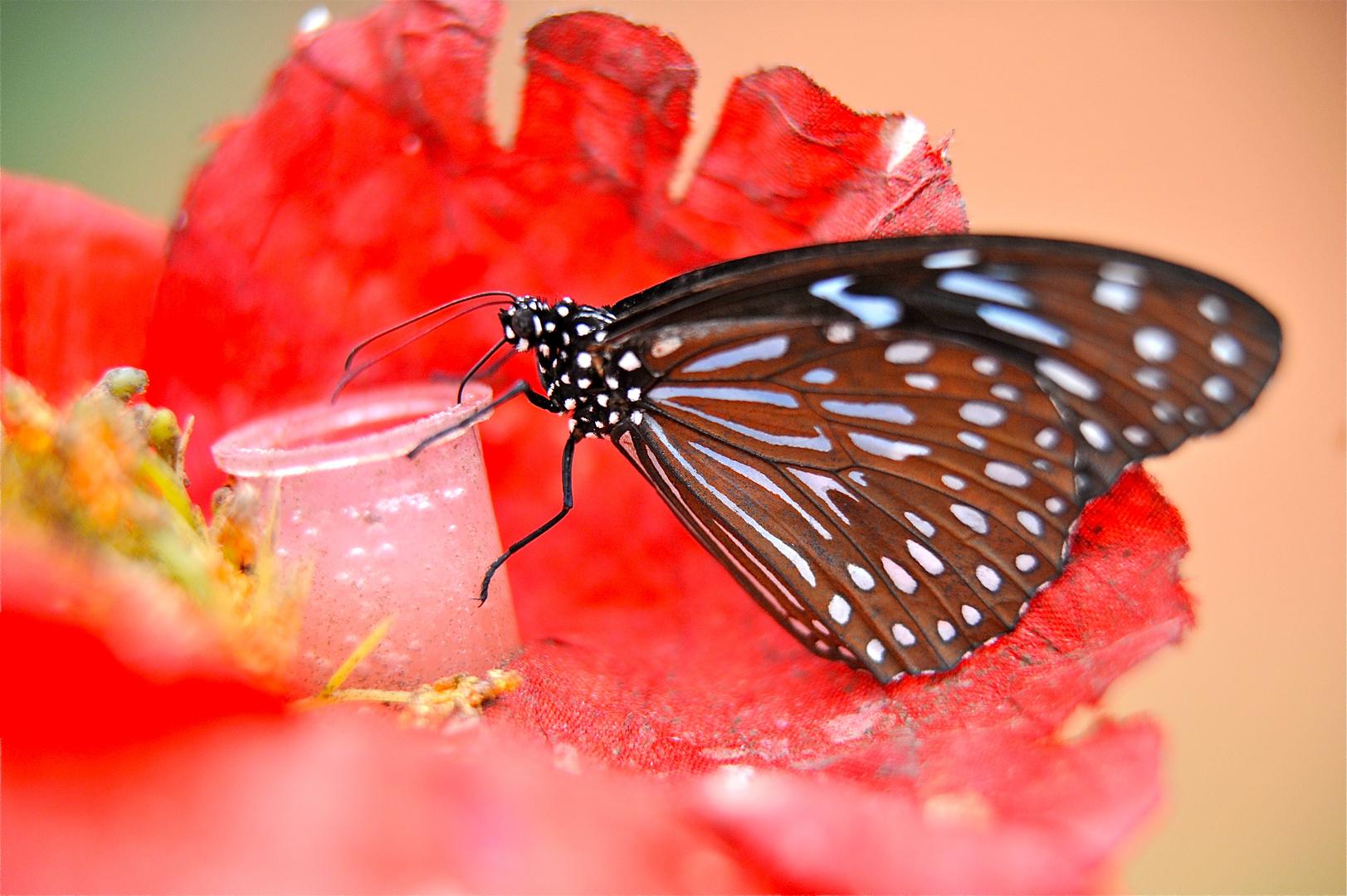 tjs papillon