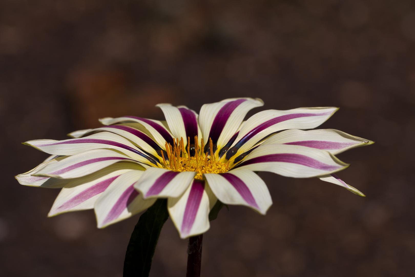 T.MM Streifenblümchen