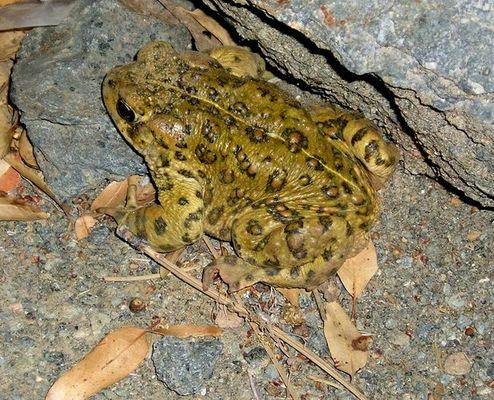 Toad semi profile