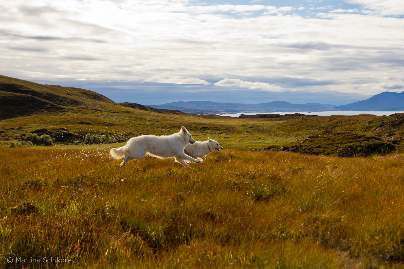 Tobende Hunde im schottischen Moor - Isle of Sky