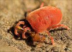 ~ Tod einer Ameise ~ [Rote Samtmilbe]
