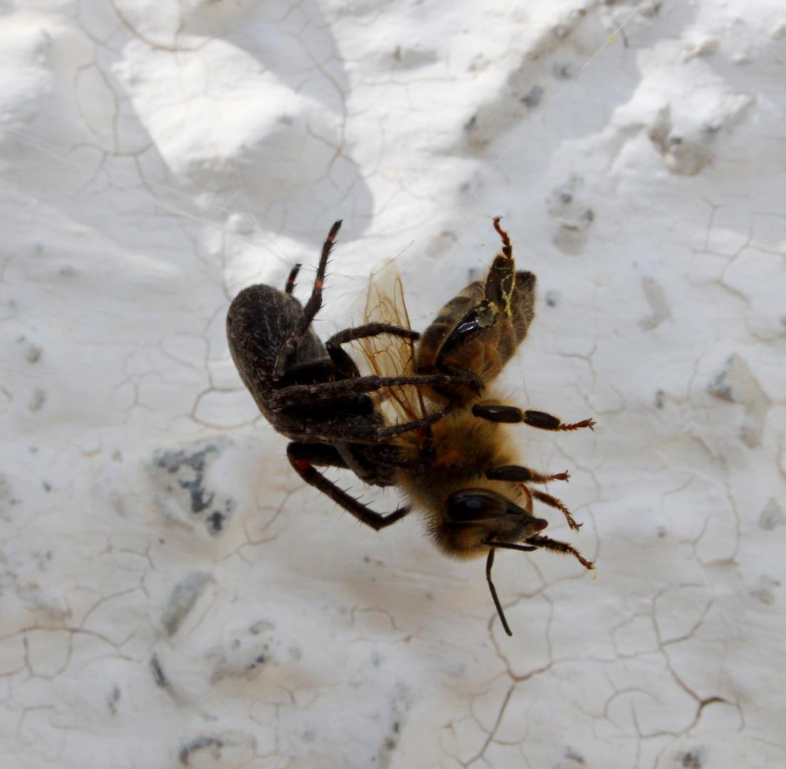 Todeskampf Spinne vs. Bienchen