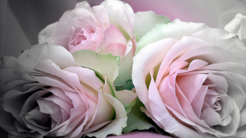 Toi mon amie la rose