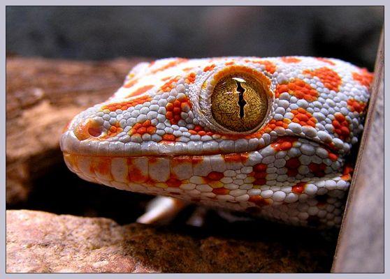 Tokee (Gecko gecko)