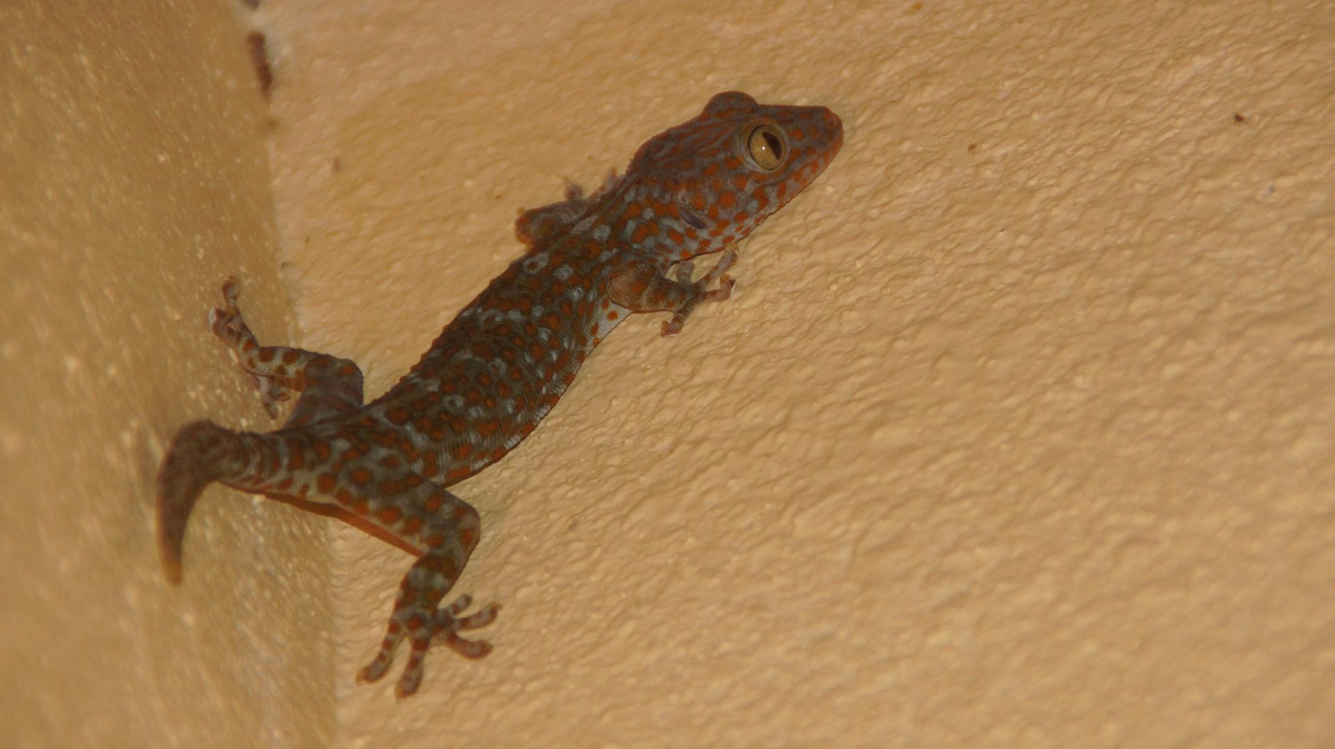 Tokeh (Gekko gecko)