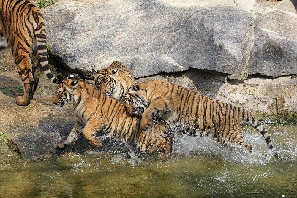 Tollende Tiger-Teenies