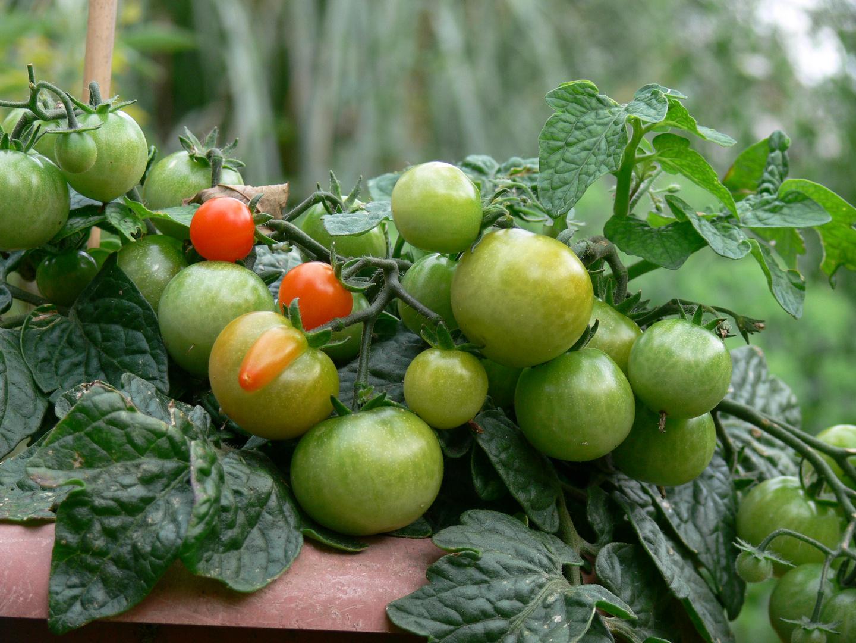 tomaten traube