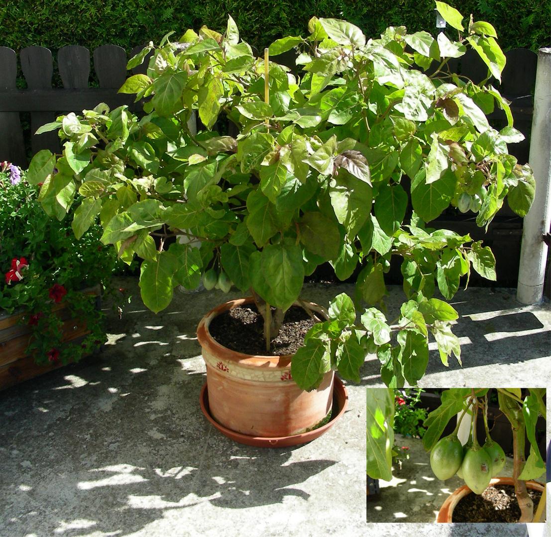 Tomatenbaum