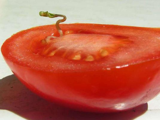Tomatenkeimling