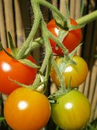 tomates cerises du jardin !