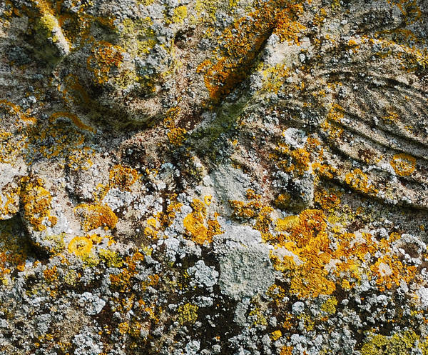 Tomb stone Lichen