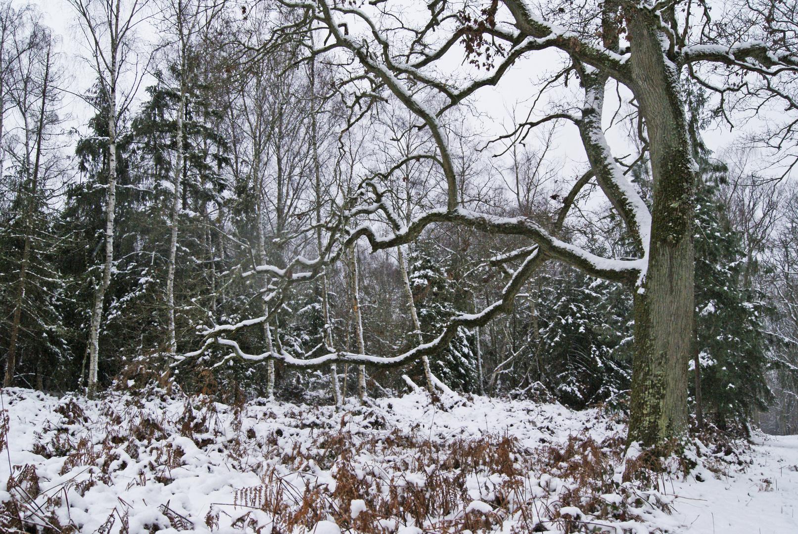 tombe la neige!!! forêt de fontainebleau
